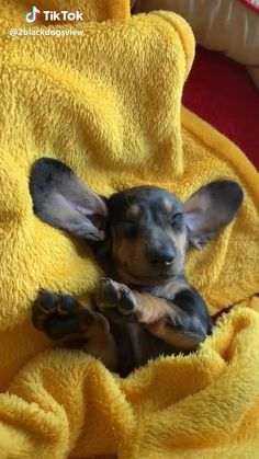 Page is dedicated to all Dachshund Addicts! Dapple Dachshund, Funny Dachshund, Dachshund Puppies, Weenie Dogs, Dachshund Love, Cute Puppies, Funny Dogs, Cute Puppy Videos, Cute Animal Videos