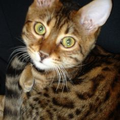 Our crazy Bengal kitty that we love so much!!!