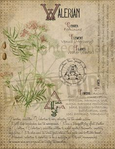 Valerian correspondences Magic Herbs, Herbal Magic, Magick Spells, Witchcraft, Magia Elemental, Grimoire Book, Witch Herbs, Wiccan Spell Book, Modern Witch