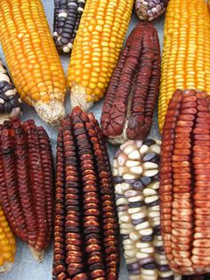 Mercado de Tepoztlan Mexico.  More properly called maize (corn can be any grain) is a seed domesticated in the  Tehuacán Valley of Mexico more than 10,000 yrs ago.