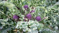 Get expert RHS advice on growing and harvesting broccoli and eliminating possible pests and diseases. Fruit Garden, Edible Garden, Vegetable Garden, Growing Broccoli, Brocolli, Veggie Patch, Grow Your Own, Outdoor Gardens, Gardens