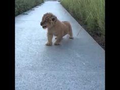 Rugido de cachorro de león es la sensación en redes (VIDEO) | La Opinión