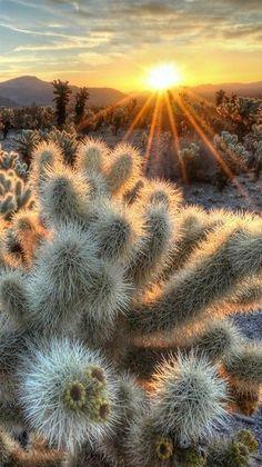 Nature - Sunrise Sunburst at Joshua Tree National Park, California. - photographer Sierralara