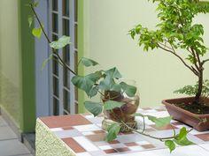 Cultivo de batata-doce em água - BBel :: Tudo sobre decoração e organização da sua casa