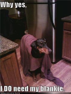 My Doberman carries her blanket around with her everywhere too! She's my little Linus dog. Doberman Colors, Doberman Love, Black Lab Puppies, Dogs And Puppies, Corgi Puppies, Big Dogs, Pincher Dog, Most Beautiful Dogs, Dog Grooming Business