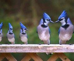 Blue Jay Family!