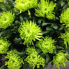 Vibrant green Chrysanthemum blooms. Fantastic for use in colourful gift bouquets. Cheerful, bright AND long lasting.