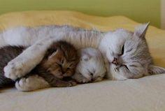 Gato abrazando gatitos♡