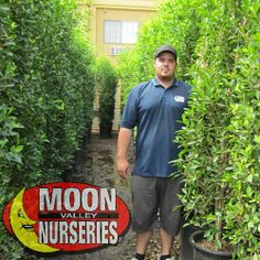 The Ficus Nitida Columns come in every shape and size you can start young and keep them at your desired height or you can come to Moon Valley Nursery and buy one that is fully mature already. Moon Valley Nursery is your number 1 grower in the United States and we have thousands of Ficus Nitida in stock ready to be planted?