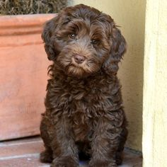 "Dolce Vita Labradoodles on Instagram: ""Our sweet Penny. Another Harmonys Haiku and Manor Lake Apollo (Golden Gate Labradoodle) pup. #australianlabradoodle #labradoodle…"""