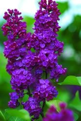Ludwig Spaeth Lilac (Syringa vulgaris 'Andenken an Ludwig Spaeth') Bushes And Shrubs, Lilac Bushes, Purple Flowers, Beautiful Flowers, Nice Flower, Red Purple, Lilac Varieties, Syringa Vulgaris, Lilac Tree