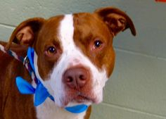 TO BE DESTROYED 07/26/15 RESCUED ONLY! Manhattan Center  My name is PATCHES. My Animal ID # is A1045072. I am a male red and white am pit bull ter and american staff mix. The shelter thinks I am about 5 YEARS old.  I came in the shelter as a OWNER SUR on 07/22/2015 from NY 10460, owner surrender reason stated was INAD FACIL. http://nycdogs.urgentpodr.org/patches-a1045072/