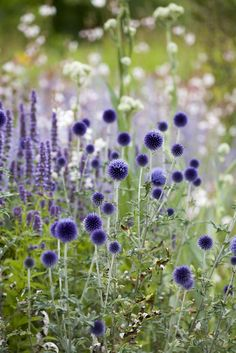 The backdrop of white allows the purple to come to life. The upright salvia, in the back, reveals the round shape of the flower. Echinops - Ritro Veitch's Blue