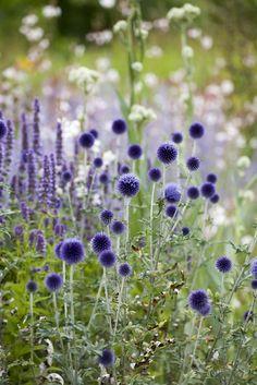 Echinops ritro 'Veitch's Blue' (Kogeldistel), kogelvormige bloemhoofdjes, stekelig grijsgroen blad, stekels, bijen, hommels vlinders, statige decoratieve plant, goede snij- en droogbloem