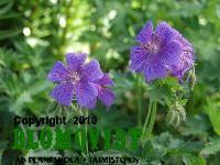 Geranium x magnificumTarhakurjenpolvi