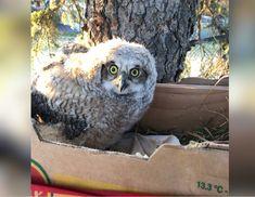 Wildlife Rehabilitation Society of Saskatchewan volunteers build nest for baby owls in Saskatoon - Saskatoon | Globalnews.ca Flamingo Bird, Owl Bird, Pet Birds, Exotic Birds, Colorful Birds, Owl Who, Bird Barn, Great Horned Owl, Snowy Owl