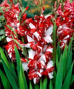 Gladioli 'Zizanie' The free-flowering, large-flowered Gladioli 'Zizanie' makes a wonderful cut flower. Its impressive flowers will continue flowering for a very long time in a vase. You should definitely plant a group of Gladioli 'Zizanie' in your garden as they flower richly, adding glorious colour to summer gardens and through into the winter.