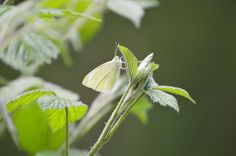 Butterfly in the nettles at hartshill hayes