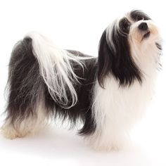 The Havanese or Bichon Habanero, is a member of the bichon family of small companion-dog breeds, which are neither spaniels nor terriers. Native to Cuba, the Havanese likely arrived via trading ships.It is believed that captains raised these dogs aboard commercial sailing ships and offered them as presents to gain entry to wealthy homes.A companion to Cuban aristocrats, they lived solely in the Havana Mansions & country estates of premiere social class. Dogs arrived in US after 1959…