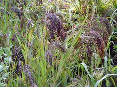 panicum violaceum