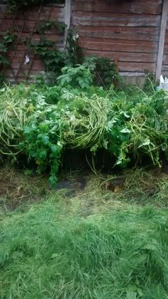 2nd crop Potatoes going bonkers still need to find a way of containing them better.  23/08/2015