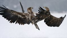 """Take This !! - Two more very friendly juvenile White-tailed Eagles :-)  Shot taken near Kutno in mid Poland.   A big thanks to Marcin Nawrocki <a href=""""http://www.polandwildlife.com"""">Poland Wildlife</a> and his cousin Alexander for the great time I've had.  ©<a href=""""http://www.hewaph.com"""">Harry Eggens</a>  Best wishes,  Harry"""