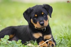 Rottweiler Dog Breed Information, Facts, Photos, Care | Pets4Homes
