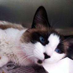 GLITTER is an adoptable Snowshoe Cat in Las Vegas, NV.  ...