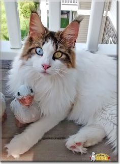 Read Luke's story the Maine Coon from Freeville, New York and see his photos at Cat of the Day http://CatoftheDay.com/archive/2015/April/14.html