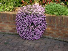 Saponaria Ocymoides (Rock soapwort). Great for the cinder block garden wall by the garage.