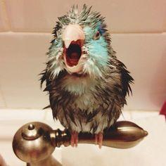 Hurry up & get me a towel!  http://www.busybird.com/parrotletinfo1.html