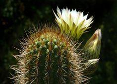 Echinopsis+chiloensis+#1