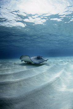Stingray riding sand waves in clear waters.
