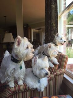 "Watching nature through their favorite window . ""If wishes were Westies, I'd have a house full ! Westies, Bichons, White Terrier, Terrier Mix, Terriers, Jiff Pom, Baby Animals, Cute Animals, Cutest Puppy Ever"