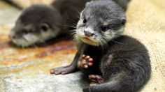 Dear baby otter, please come to me and I will love you and raise you and cuddle you.