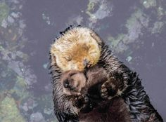 Day Old Otter Pup Falls Soundly Asleep on Top of Her Floating Mom at the Monterey Bay Aquarium