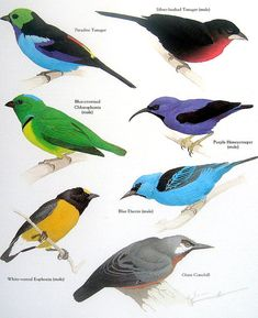 Bird Print -  Paradise Tanager, Blue Dacnis, Giant Conebill, Purple Honeycreeper - Vintage 1984 Book Page