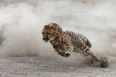 Dünyanın En Hızlı Memelisi Olan Çitalar Ne Kadar Hızlı Koşar?