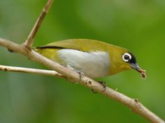 Black-crowned White-eye (Zosterops atrifrons) by Ariefrahman.