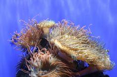 https://flic.kr/p/5go18m | Anemonies | Sea anemone in Singapore aquarium