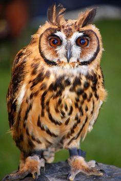 eqiunox:  Peruvian Striped Owl by stevejhutton on Flickr