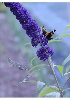 "An A1 poster sized print, approx 23""x33"" (841x594mm) (other products available) - Buddleja davidii 'Black Knight' <br> Buddleja <br> Purple subject - Image supplied by Flower Photos - 23""x33"" Poster printed in the USA"