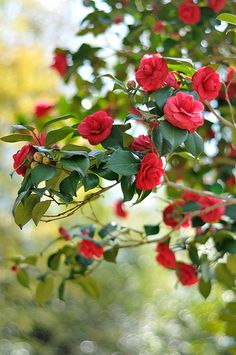 camelia- my red camelias are in full bloom in my shade garden despite the harsh winter in the southeast this year. Most Beautiful Flowers, My Flower, Pretty Flowers, Beautiful Gardens, Flower Power, Gardenias, Purple Home, Rose Cottage, Gardens