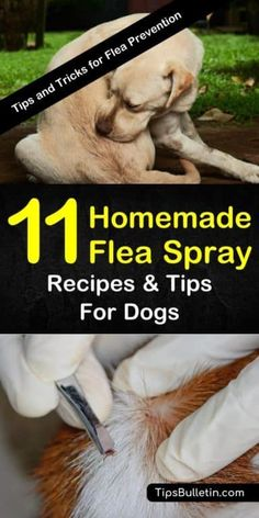 Homemade Flea Spray Recipes for Dogs – 11 Tips and Tricks for Flea Prevention Learn about these different recipes for homemade flea spray for dogs to help make life for your furry friend a little less itchy and a lot more fun. Dog Flea Remedies, Home Remedies For Fleas, Flea Remedy For Dogs, Natural Remedies For Fleas, Ticks Remedies, Herbal Remedies, Flea Spray For Dogs, Flea And Tick Spray, Tips And Tricks