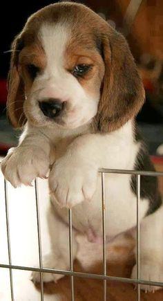 Es imposible que no se derrita el corazón, cuando se ven...Raza beagle cachorro