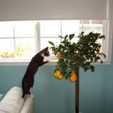 Regular misting also helps keep the cats away from the tree!
