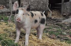Mumford is an adoptable Pig (Farm) Pig (Farm) in Middleburg, VA. Mumford is a great guy who loves people. His mom could not take care of him and he was bottle raised and kept in the house since he was...