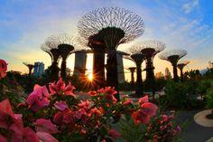 Гигантские деревья необычайной красоты в Сингапурском парке поражают своим великолепием и разнообразием цветов. «Сады у залива» («Gardens by the Bay») в Марина-Бэй (Marina Bay), в Сингапуре, были открыты летом 2012 года. На огромной парковой территории площадью в 101 гектар британские инженеры из архитектурной фирмы «Grant Associates» соорудили 18 гигантских деревьев высотой от 25 до 50 метров...