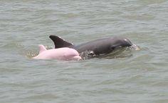 Un delfín albino extremadamente raro fue descubierto por biólogos brasileños nadando cerca de la costa sur de Sudamérica.   El grupo de investigación, con sede en la Universidad de Univille en Santa Catarina, dijo el jueves que era el primer registro de inst Ance de un albino en la especie Pontoporia blainvillei, un tipo muy tímido de los delfines, que rara vez salta fuera del agua. Es conocido en Brasil como Toninha y en Argentina y Uruguay, como La Plata o el delfín franciscana.