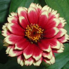 """Zinnias are primarily native to Mexico, where they were called """"mal de ojos,"""" which means """"sickness of the eye."""" Having a name like that probably wouldn't make you want to run out and get this pla…"""